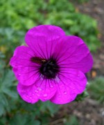 Photos Geranium cinereum