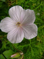 Fotos Geranium clarkei