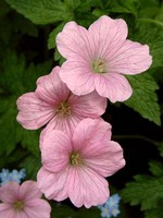 Photos Geranium endressii