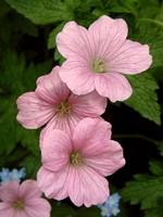 Fotos Geranium endressii