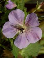 Fotos Geranium erianthum