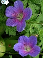 Photos Geranium himalayense