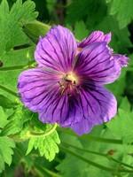 Fotos Geranium ibericum