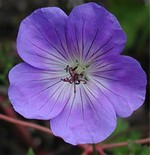 Photos Geranium grandiflorum