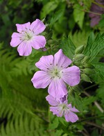 Fotos Geranium maculatum