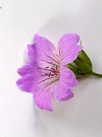 Fotos Geranium nodosum
