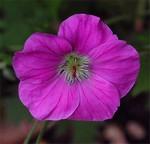 Fotos Geranium orientalitibeticum