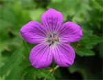 Photos Geranium palustre