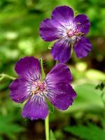 Fotos Geranium phaeum