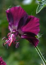 Fotos Geranium phaeum var. hungaricum