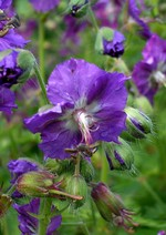 Fotos Geranium phaeum var. lividum