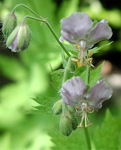 Fotos Geranium phaeum -