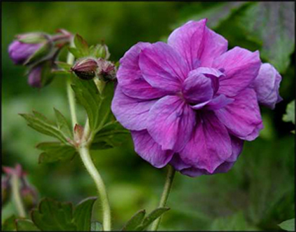 Photos Geranium himalayense -