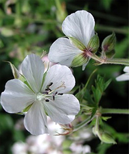 Photos Geranium pratense -