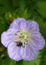 Photos Geranium pratense