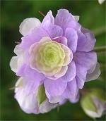 Fotos Geranium pratense