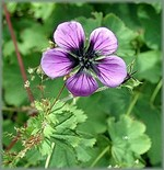 Photos Geranium procurrens