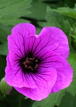 Photos Geranium psilostemon