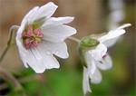 Fotos Geranium pyrenaicum