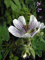 Photos Geranium renardii