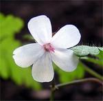 Fotos Geranium robertianum