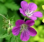Fotos Geranium sylvaticum