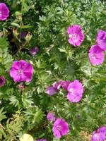 Fotos Geranium sanguineum