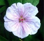 Fotos Geranium sanguineum var. lancastriense