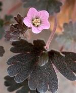 Fotos Geranium sessiliflorum ssp. nov.-zel.