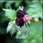 Photos Geranium sinense