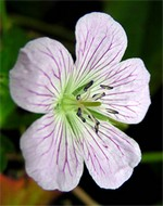 Photos Geranium gracile x ibericum
