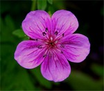 Photos Geranium soboliferum