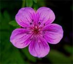 Fotos Geranium soboliferum