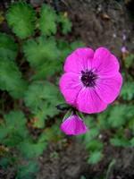 Fotos Geranium subcaulescens