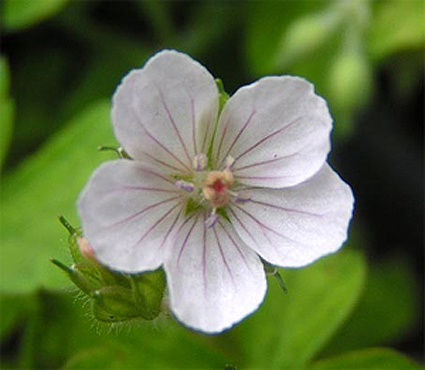 Photos Geranium thunbergii -