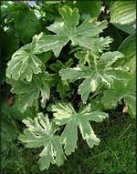 Fotos Geranium macrorrhizum