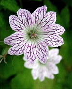 Photos Geranium versicolor