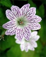 Fotos Geranium versicolor