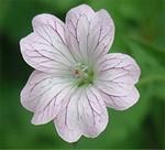 Fotos Geranium × oxonianum