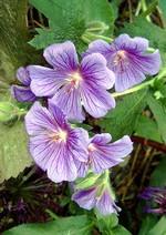 Fotos Geranium x magnificum