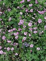 Photos Geranium � riversleaianum