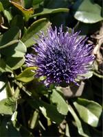 Fotos Globularia trichosantha