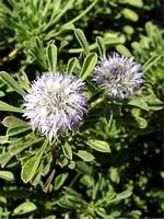Fotos Globularia meridionalis