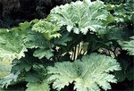 Photos Gunnera chilensis