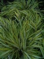 Hakonechloa macra - Garten-Goldband-Gras Aureola