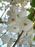 Halesia carolina - Carolina-Schneeglöckchenbaum