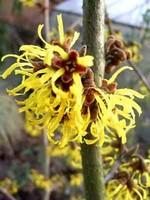Hamamelis japonica - Japanische Zaubernuß