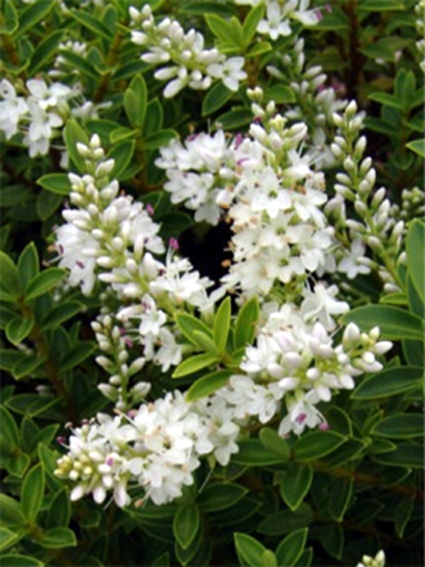 Fotos Hebe buxifolia -