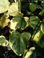 Hedera colchica - Kolchischer Efeu Dentata Variegata