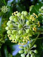 Hedera helix - Strauch-Efeu Arborescens